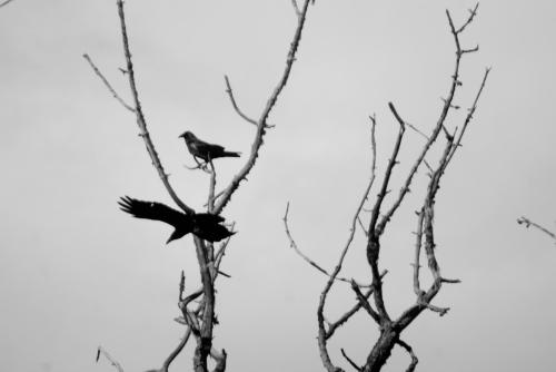 crows. 2 crows.
